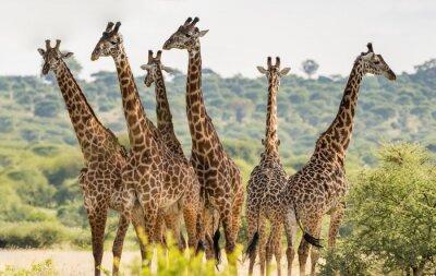 Плакат Группа из шести жирафов в национальном парке Тарангире, Танзания