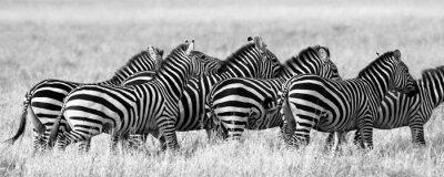 Плакат Группа зебр в саванне. Кения. Танзания. Национальный парк. Серенгети. Масаи Мара. Отличной иллюстрацией.