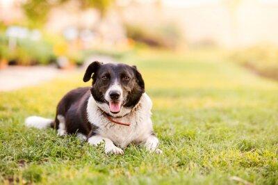 Плакат Счастливая собака лежала в зеленой траве с проходящими лапами