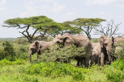 Плакат стадо слонов, стоя среди деревьев акации на ландшафт Серенгети Саванна
