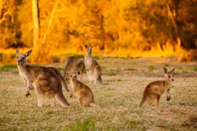 Плакат Стадо кенгуру в сумерках
