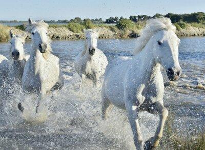 Плакат Стадо белых лошадей Запуск и брызг через воду