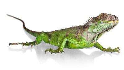 Плакат Игуана, ящерица, рептилий.