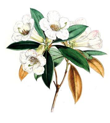 Плакат Иллюстрация цветок
