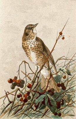 Плакат Иллюстрация зоолог / Turdus philomelos / Grive musicienne