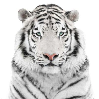 Плакат Изолированные белый тигр