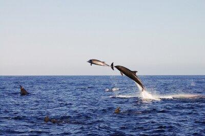 Плакат Прыжки дельфинов - Галапагосские
