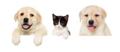 Плакат котенок и щенок Лабрадор выглядывает