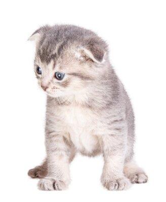 Плакат котенок, изолированных на белом