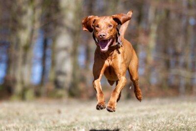 Плакат Коикерхондье собака на открытом воздухе в природе