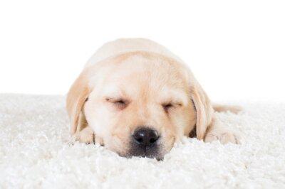 Плакат лабрадор щенка спать на пушистом ковре