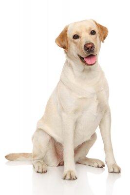Плакат Лабрадор ретривер собака