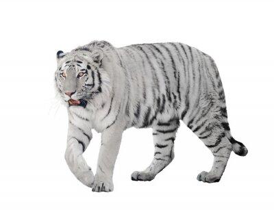 Плакат большой альбинос тигр на белом