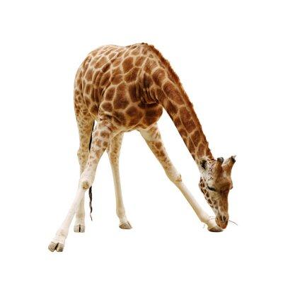 Плакат большой жираф, изолированных на белом фоне