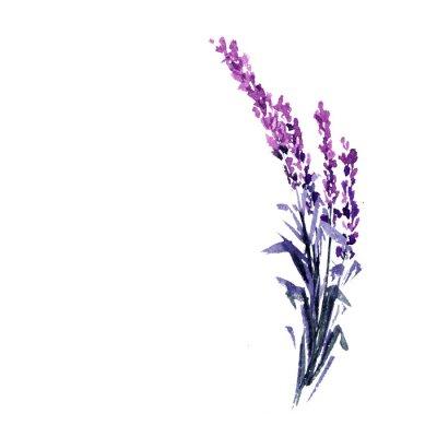 Плакат Лаванда цветок Акварельные иллюстрации. Прямая лавандовая ветвь. Любовь и брак. Одиночная веточка лаванды. Изолированный растр
