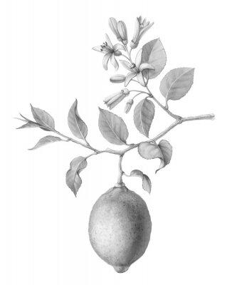 Плакат Lemon Tree Fruit and Flowers Hand-drawn Pencil Illustration Isolated on White