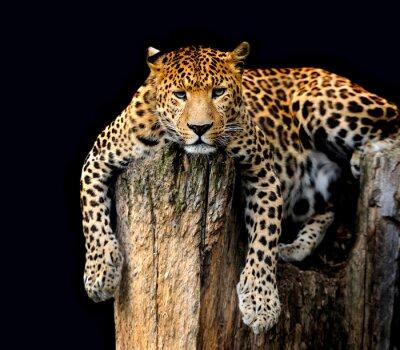 Плакат Леопард Изолированные на черном фоне