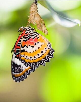 Плакат Leopard златоглазки бабочки выходят из куколки