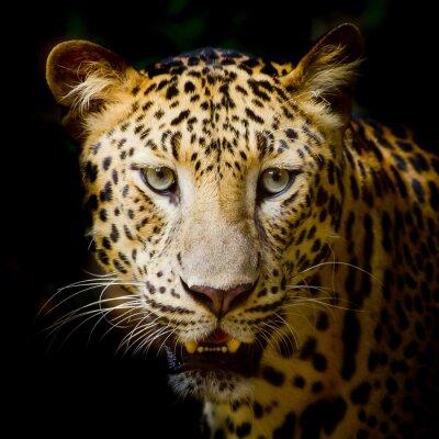 Плакат Leopard portrait
