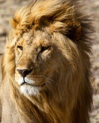 Плакат Лев в Африке