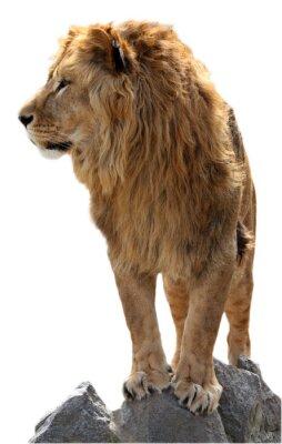 Плакат Лев на камни