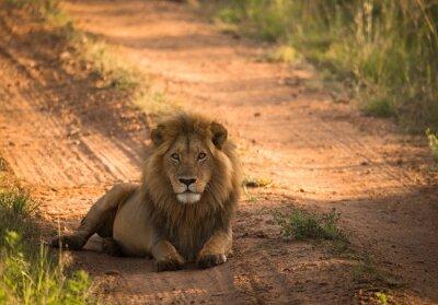 Плакат Лев на утренней африканской дороге