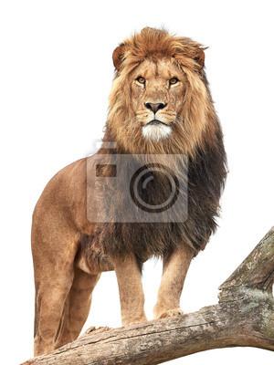 Плакат Лев (Panthera Leo)