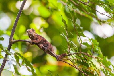Плакат Мадагаскар Lizard
