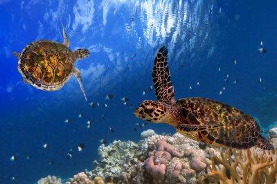 Плакат Мальдивский морских черепах Плавающий