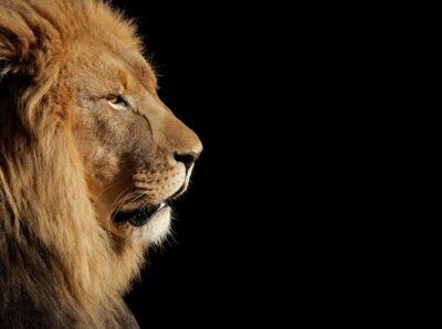 Плакат Male African lion on black