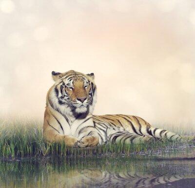 Плакат Мужской Tiger Отдыхающий