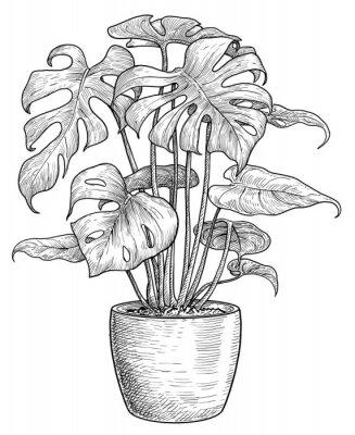 Плакат Monstera illustration, drawing, engraving, ink, line art, vector