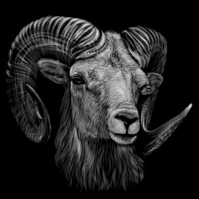 Плакат Mountain sheep. Artistic, monochrome, black and white, hand-drawn portrait of a mountain sheep on a black background.