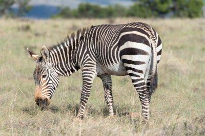 Плакат Гора зебры выпаса