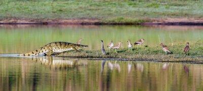 Плакат Нильский крокодил в Национальный парк Крюгера, Южная Африка