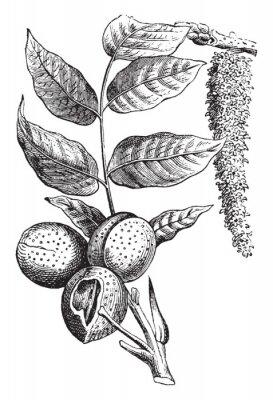 Плакат Nut vintage illustration.