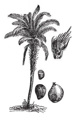Плакат Oil palm vintage illustration.