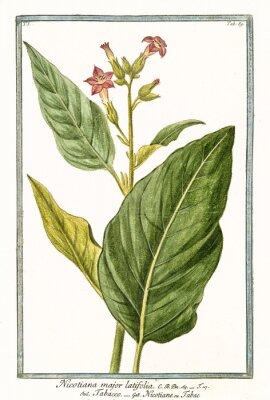Плакат Старая ботаническая иллюстрация Nicotiana major (Nicotiana tabacum). Г. Бонелли на Hortus Romanus, изд. Н. Мартелли, Рим, 1772 - 93