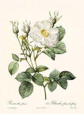 Плакат Старая иллюстрация Rosa alba foliacea. Создано PR Redoute, опубликованное в Les Roses, Imp. Фирмин Дидо, Париж, 1817-24