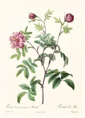 Плакат Создано PR Redoute, опубликованное в Les Roses, Imp. Фирмин Дидо, Париж, 1817-24