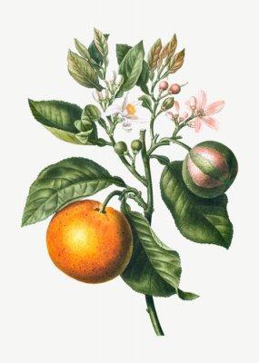 Плакат Orange tree branch