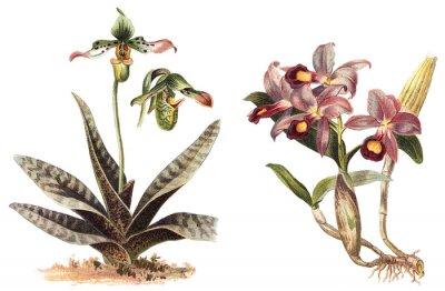 Плакат Орхидея - левый Paphiopedilum venustum и правый Cattleya Skinneri / старинные иллюстрации