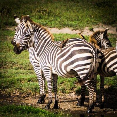 Плакат oxpeckers птицы получают пищевые еды вшей на африканских зебр, и они получают борьбы с вредителями