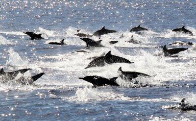 Плакат Тихий океан Common Dolphin Stampede
