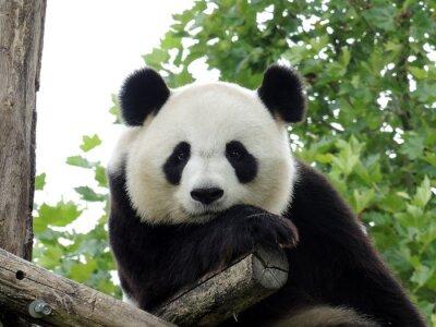 Плакат Panda Geant 3