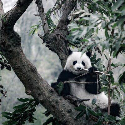 Плакат панда на дереве