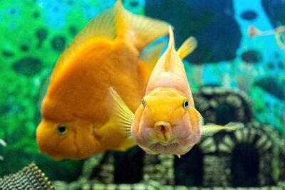 Плакат Parrotfish в аквариуме крупным планом