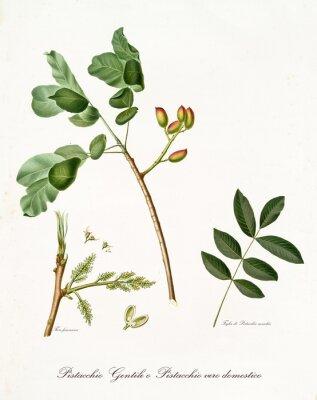 Плакат ветка фисташки с листьями и другими растительными элементами. Вся композиция изолирована на белом фоне. Старая подробная ботаническая иллюстрация Джорджио Галлезио, опубликованная в 1817, 1839