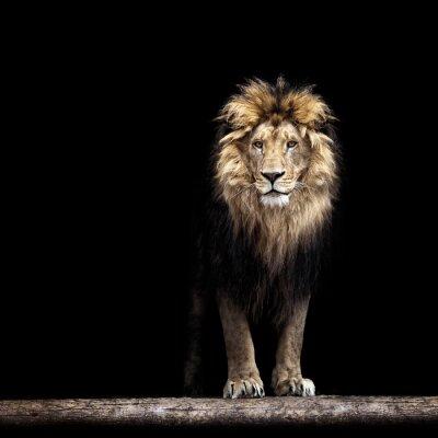 Плакат Портрет красивой лев, лев в темноте
