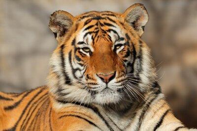 Плакат Портрет бенгальского тигра (Panthera Тигр bengalensis).